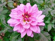 En härlig rosa färgblomma i parkera royaltyfria foton