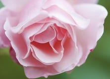 En härlig rosa färgros i en trädgård Royaltyfria Foton