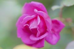 En härlig rosa färgros i en trädgård Fotografering för Bildbyråer