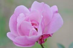 En härlig rosa färgros i en trädgård Arkivbilder