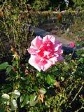 En härlig rosa färgros i trädgården arkivbild