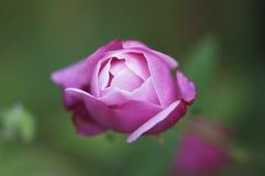 En härlig rosa färgrosknopp i en trädgård Arkivbild