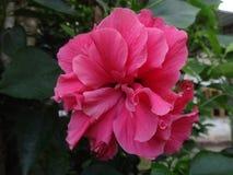 En härlig rosa hibiskus är blommande Royaltyfri Bild