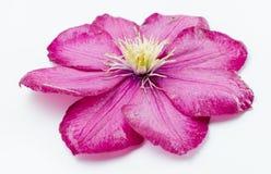 En härlig rosblomma Arkivbild