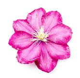 En härlig rosblomma Royaltyfri Foto