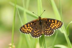 En härlig sällsynt Heath Fritillary Butterfly Melitaea athalia som sätta sig på ett grässtrå i skogsmark royaltyfria bilder