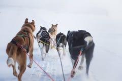 En härlig sex hund vimlar att dra en släde Bild som tas från att sitta i slädeperspektivet Rolig sund vintersport i nord royaltyfria bilder