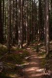 En härlig skogsmark går i den fläckiga skogen i den olympiska nationalparken, Washington State, USA arkivbilder