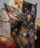 En härlig stående av kvinnliga hästar för en manans med traditionell tillbehör royaltyfri foto