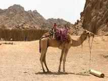 En härlig stark härdad kamel som vilar och att beta i parkeringsplatsen, stannade med knölar på varm gul sand i öknen i Egypten a Fotografering för Bildbyråer