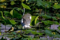 En härlig stor vit ägretthägerlandning i sjön Arkivfoton