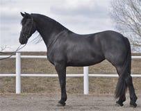 En härlig svart häst Arkivfoton
