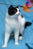 En härlig svartvit katt Royaltyfri Fotografi