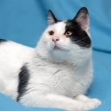 En härlig svartvit katt Arkivfoto