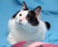 En härlig svartvit katt Arkivbild