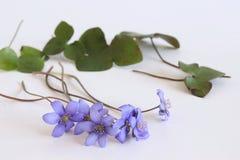 En härlig vårbukett, Liverwort, blåsippanobilisblommor på en trävit bakgrund Ätligt sunt royaltyfri foto