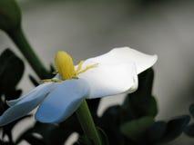 En härlig vit gardenia Arkivfoton
