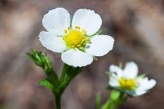 En härlig vit jordgubbeblomma fotografering för bildbyråer