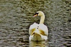 En härlig vit svan i ett damm arkivfoton