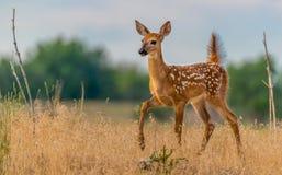 En härlig Vit-tailed hjort Fawn Prancing i en äng arkivbilder