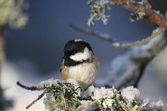 En härlig vuxen kolmesPeriparus ater sätta sig på en filial som täcktes i lav, och en beläggning av snö Arkivfoto