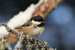 En härlig vuxen kolmesPeriparus ater sätta sig på en filial som täcktes i lav, och en beläggning av snö Royaltyfria Bilder