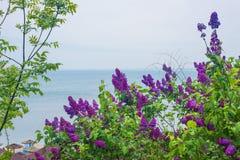 En härliga lila Bush mot den blåa himlen och havet fotografering för bildbyråer