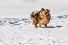 En härliga lilla orange Pomeranian eller Pom är en avel av hunden av spitzen som kör i den vita insnöade vintern royaltyfri foto