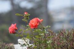 En härliga Rose In California Arkivfoto