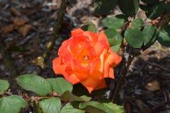 En härliga Rose In California Arkivbild