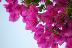 En härlighet blommar Arkivfoton