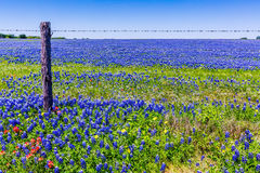 En härligt fält filt heltäckandeblått med Bluebonnets royaltyfria foton