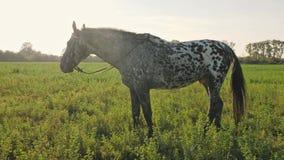 En häst äter ett gräs på ängen på solnedgången, ultrarapid lager videofilmer