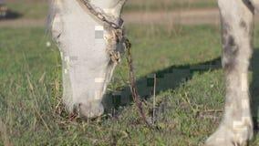 En häst äter gräs i en äng stock video