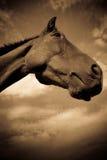 En häst i profil i sepia Arkivfoton