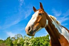 En häst i sommar Julian Bound Arkivfoton