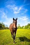 En häst i sommar Julian Bound Arkivbild