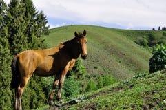 En häst i Yili prarie royaltyfri foto