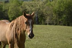En häst namngav Fåfänga royaltyfri fotografi