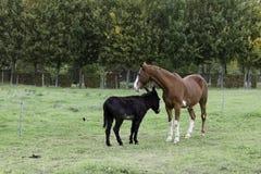 En häst och en åsna Royaltyfria Bilder