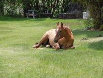 En häst på vilar Arkivfoton