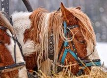En häst som äter havre ut på gatan på en frostig dag Häst i rimfrostfrost, temperatur negativ 35 C arkivfoto