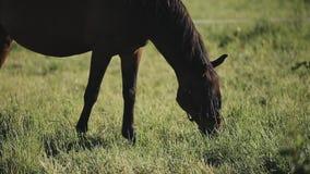 En häst som äter och tuggar grässlutsikt stock video