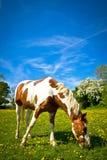 En häst som betar i sommar Julian Bound Royaltyfri Bild
