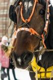 En häst som kläs för en ferie Arkivfoto