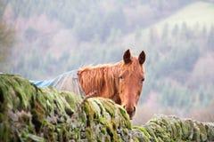 En häst som ser över en vägg för torr sten Fotografering för Bildbyråer