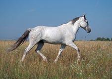 En häst traver på ängen Royaltyfria Bilder