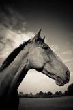 En hästprofil i svartvitt Royaltyfri Bild