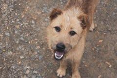 En hårig brun hund ser upp på kameran royaltyfria bilder