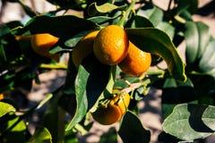 En hög av härliga gula kumquats som växer på trädet arkivbild
